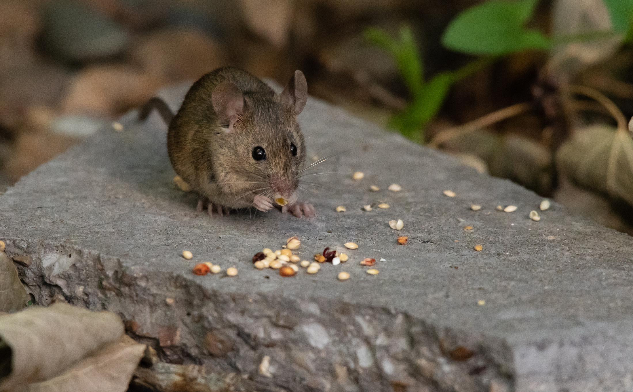 1607, 1607, A House Mouse Foraging on Birdseed, iStock-1183387238.jpg, 2213000, https://essentialys.com/wp-content/uploads/2021/02/iStock-1183387238.jpg, https://essentialys.com/lutte-prevention-rongeurs/a-house-mouse-foraging-on-birdseed/, , 6, , , a-house-mouse-foraging-on-birdseed, inherit, 1589, 2021-02-16 11:13:47, 2021-02-24 08:13:00, 0, image/jpeg, image, jpeg, https://essentialys.com/wp-includes/images/media/default.png, 2199, 1363, Array