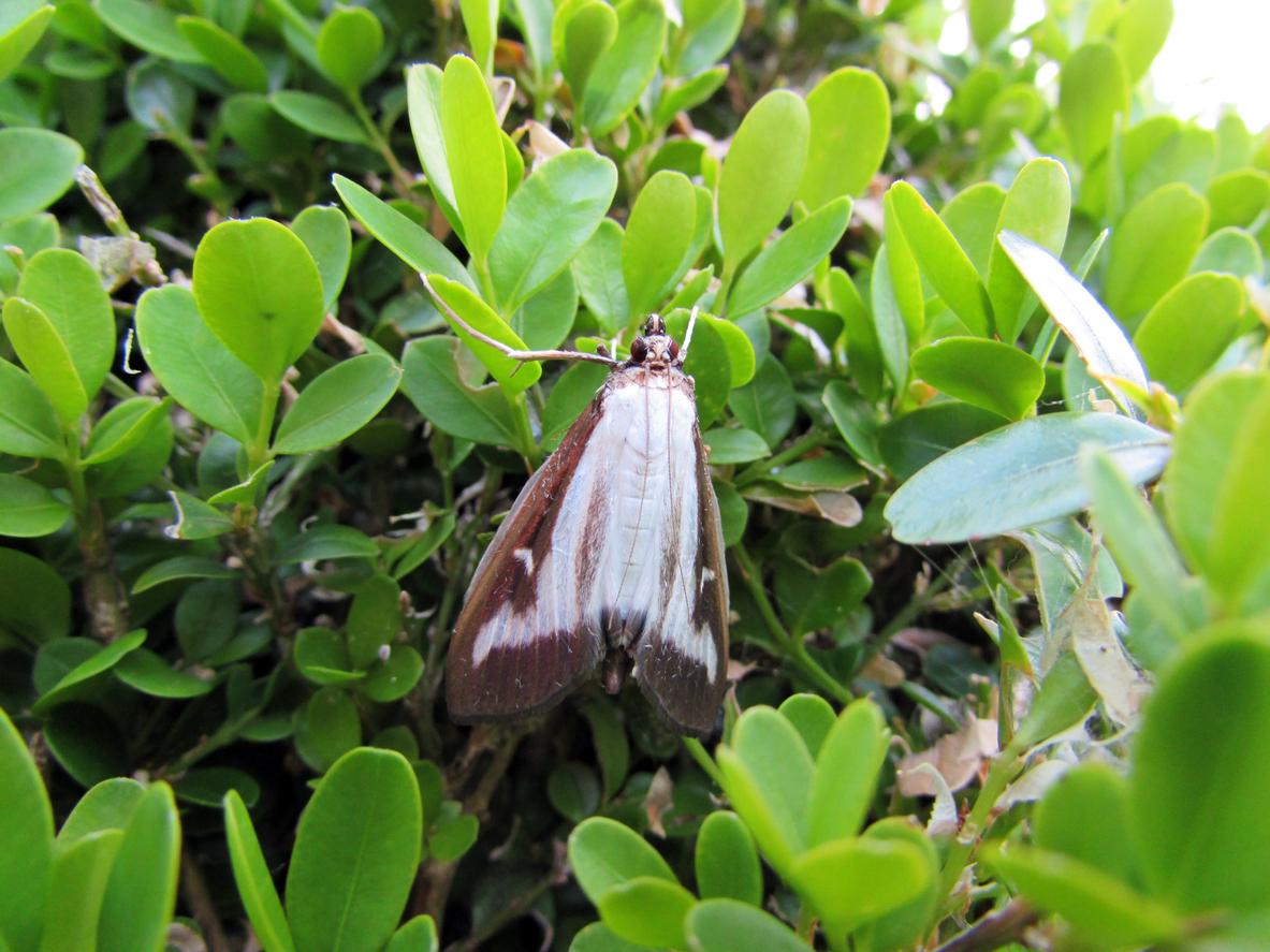 2143, 2143, Box tree moth on a Buxus sempervirens, iStock-477601720.jpg, 816764, https://essentialys.com/wp-content/uploads/2021/02/iStock-477601720.jpg, https://essentialys.com/biocontrole/box-tree-moth-on-a-buxus-sempervirens/, , 6, , Box tree moth on a Buxus sempervirens, box-tree-moth-on-a-buxus-sempervirens, inherit, 1659, 2021-02-25 10:43:03, 2021-02-25 10:43:03, 0, image/jpeg, image, jpeg, https://essentialys.com/wp-includes/images/media/default.png, 1183, 887, Array