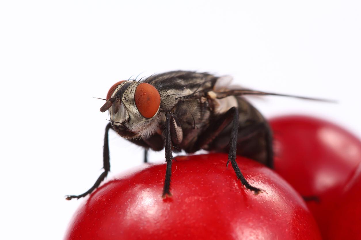 1925, 1925, fly, iStock-606216348.jpg, 328094, https://essentialys.com/wp-content/uploads/2021/02/iStock-606216348.jpg, https://essentialys.com/biocontrole/arbres-fruitiers-ou-arboriculture/cerisier/la-mouche-de-la-cerise-la-mouche-asiatique/fly/, , 6, , fly on the red cherry close up on a white background., fly, inherit, 1913, 2021-02-22 10:25:42, 2021-02-22 10:25:42, 0, image/jpeg, image, jpeg, https://essentialys.com/wp-includes/images/media/default.png, 1254, 836, Array