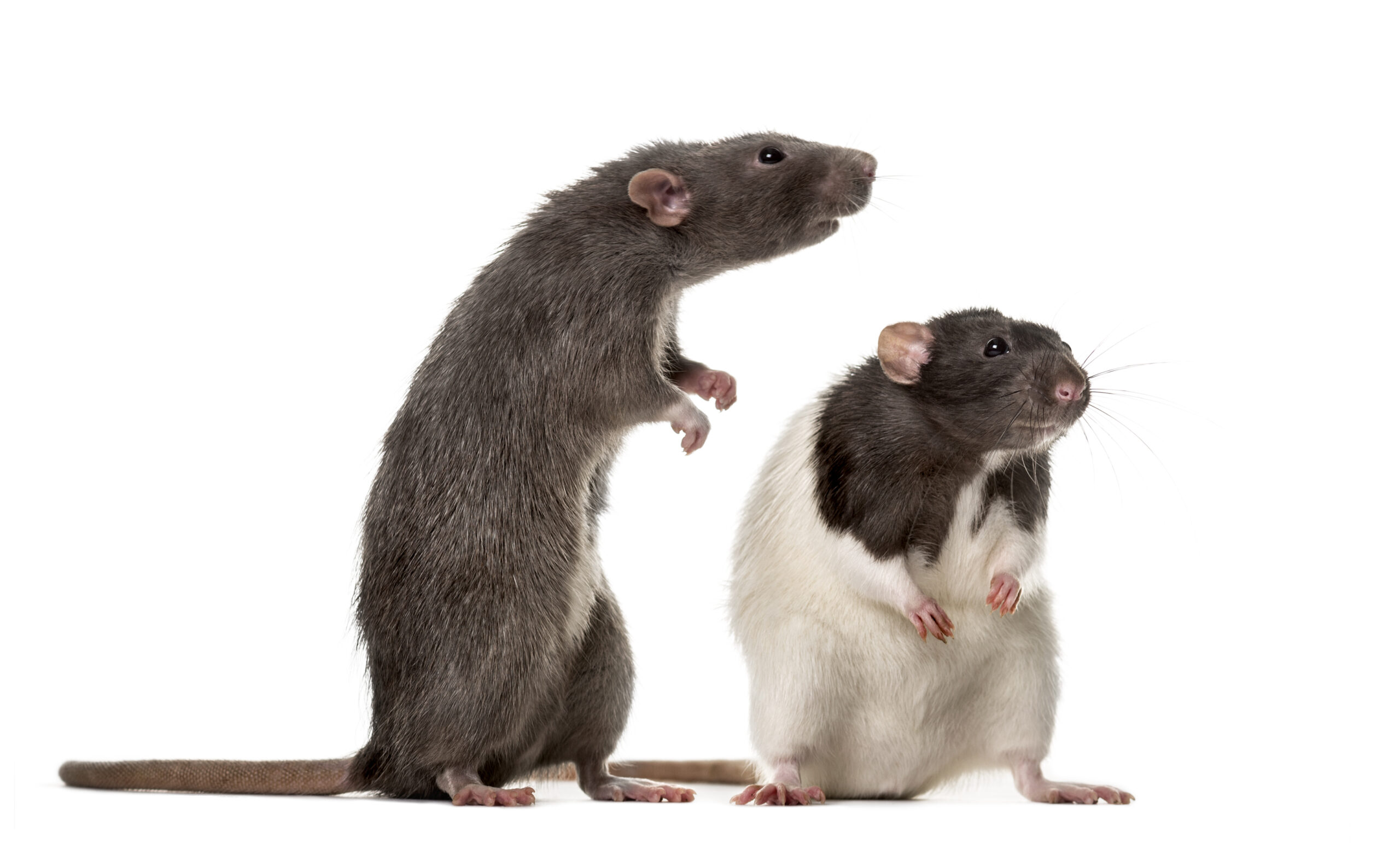 1606, 1606, Two attentive Rats standing , isolated on white, iStock-823858046-scaled.jpg, 301479, https://essentialys.com/wp-content/uploads/2021/02/iStock-823858046-scaled.jpg, https://essentialys.com/lutte-prevention-rongeurs/two-attentive-rats-standing-isolated-on-white/, , 6, , , two-attentive-rats-standing-isolated-on-white, inherit, 1589, 2021-02-16 11:13:11, 2021-02-24 08:12:57, 0, image/jpeg, image, jpeg, https://essentialys.com/wp-includes/images/media/default.png, 2560, 1541, Array